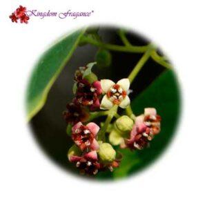 Flor de Sándalo